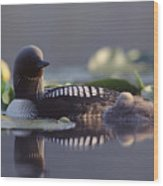 Pacific Loon Gavia Pacifica Parent Wood Print by Michael Quinton