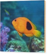 Red Saddleback Anemonefish And Soft Coral Wood Print by Georgette Douwma