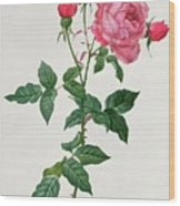 Rosa Indica Wood Print by Pierre Joseph Redoute