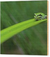 Pacific Tree Frog Wood Print by Alasdair Turner