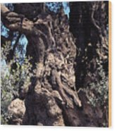 2000 Year Old Olive Tree Wood Print by Thomas R Fletcher