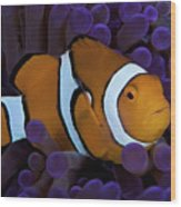 False Ocellaris Clownfish In Its Host Wood Print by Terry Moore