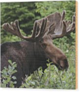 A Bull Moose Among Tall Bushes Wood Print by Michael Melford
