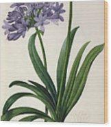 Agapanthus Umbrellatus Wood Print by Pierre Redoute