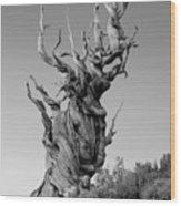 Ancient Bristlecone Pine Wood Print by Daniel Ryan
