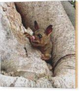 Baby Brushtail Possum Wood Print by Darren Stein