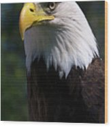 Bald Eagle Wood Print by JT Lewis