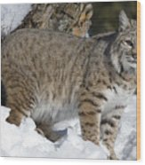 Bobcat Lynx Rufus In The Snow Wood Print by Matthias Breiter