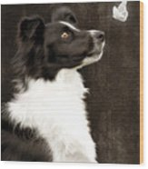 Border Collie Dog Watching Butterfly Wood Print by Ethiriel  Photography