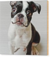 Boston Terrier Dog Puppy Wood Print by Square Dog Photography