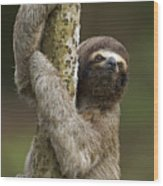 Brown-throated Three-toed Sloth Wood Print by Ingo Arndt