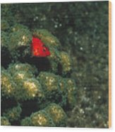 Coral Hawkfish Hiding In Coral Wood Print by James Forte
