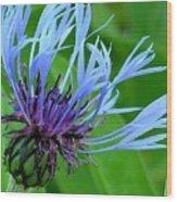 Cornflower Centaurea Montana Wood Print by Diane Greco-Lesser