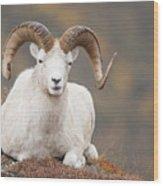 Dall Sheep Ram Wood Print by Tim Grams