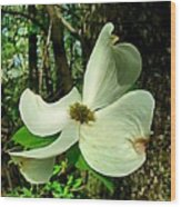 Dogwood Blossom II Wood Print by Julie Dant