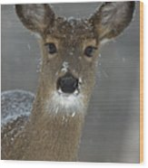 Female White-tailed Deer, Odocoileus Wood Print by John Cancalosi