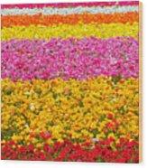Flower Fields Carlsbad Ca Giant Ranunculus Wood Print by Christine Till