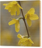 Golden Forsythia Wood Print by Kathy Clark