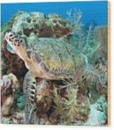 Green Sea Turtle On Caribbean Reef Wood Print by Karen Doody