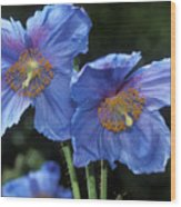 Himalayan Poppy (meconopsis Grandis) Wood Print by Dr Keith Wheeler