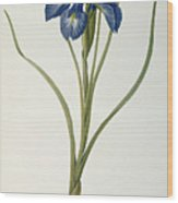 Iris Xyphioides Wood Print by Pierre Joseph Redoute