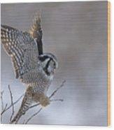 Landing Hawk Owl Wood Print by Tim Grams