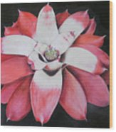 Neoregelia Madam President Wood Print by Penrith Goff