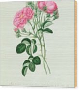 New Crimson Double Sweet Briar Of New York Wood Print by Pierre Joseph Redoute