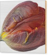Parrot Tulip 2 Wood Print by Robert Ullmann