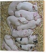 Piglets Wood Print by Rebecca Richardson