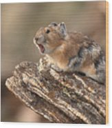 Pika Barking From Rocktop Perch Wood Print by Max Allen