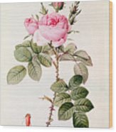 Rosa Bifera Officinalis Wood Print by Pierre Joseph Redoute