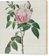 Rosa Chinensis And Rosa Gigantea Wood Print by Joseph Pierre Redoute