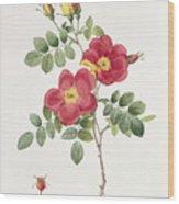 Rosa Eglantera Punicea Wood Print by Pierre Joseph Redoute