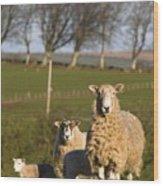 Sheep, Lake District, Cumbria, England Wood Print by John Short