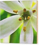 Star Of Bethlehem Grass Lily Wood Print by Ryan Kelly