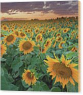 Sunflower Field In Longmont, Colorado Wood Print by Lightvision