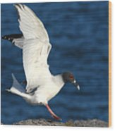Swallow Tailed Gull Landing Wood Print by Alan Lenk