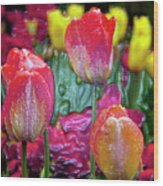 Tulip Candy Wood Print by Don  Wright