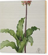 Veltheimia Capensis Wood Print by Pierre Joseph Redoute