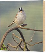 White Crowned Sparrow Wood Print by Laura Mountainspring