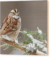 White Throated Sparrow Wood Print by Alan Lenk