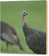 Wild Turkey Meleagris Gallopavo Wood Print by Joel Sartore