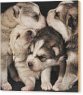 Wolf Pups Wood Print by Rich Beer
