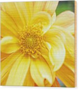 Yellow Dahlia Wood Print by Kathy Yates