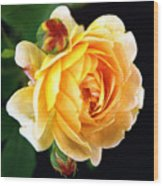 Yellow Rose Wood Print by Paul  Trunk