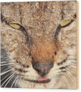 Young Bobcat Portrait 01 Wood Print by Wingsdomain Art and Photography