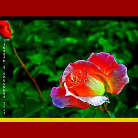 Joseph Coulombe -  A Blended Rose