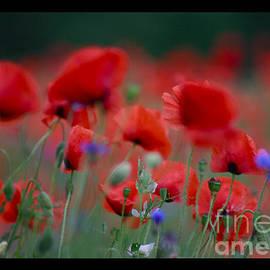 Andrzej Goszcz  -  I just pity year and beautiful dancing poppy flowers. A mnie jet szkoda lata.