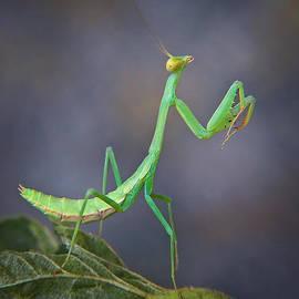David and Carol Kelly -  Preying Mantis